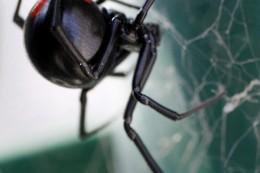 Spinnen-Alarm im Sauerland: Schwarze Witwe auf Lkw entdeckt