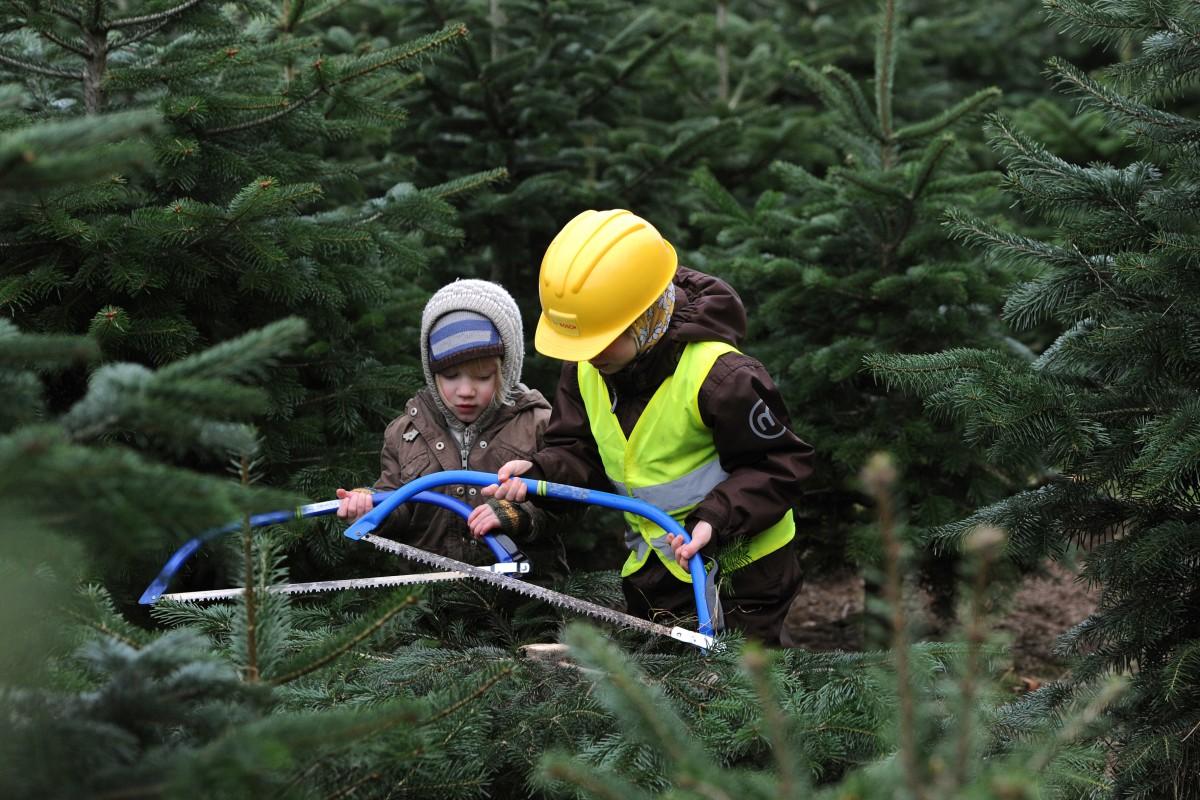 Bvb Weihnachtsbaum.Hier Können Sie Weihnachtsbäume Im Sauerland Selbst Schlagen Wp De