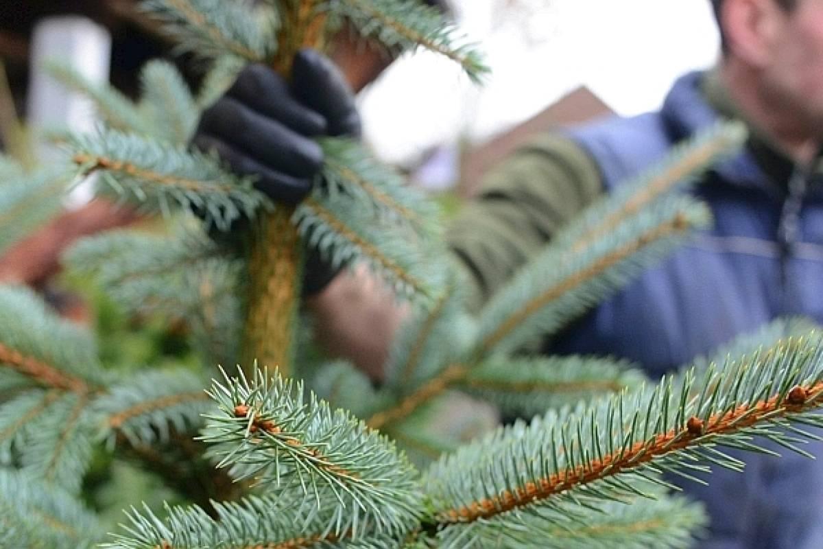 Weihnachtsbaum Schwerte.Kultur Der Tannenbäume In Gefahr Wp De Daten Archiv