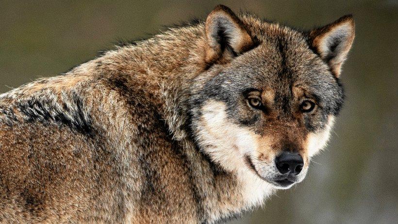 Märkischer Kreis rechnet bald mit Wölfen im Balver Wald