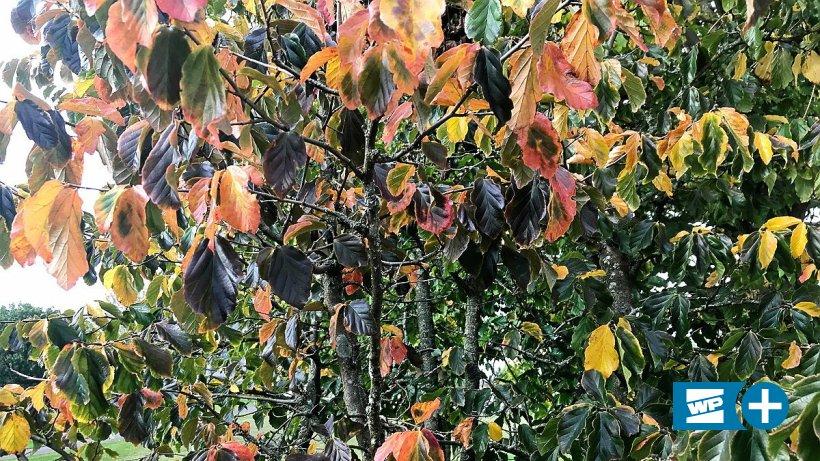 Garten Kramer Olpe: Was beim Eisenholzbaum zu beachten ist