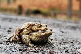 Wanderung der Frösche und Kröten in Menden: Bitte aufpassen!