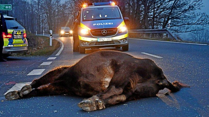 Wisent wird bei Unfall getötet: Fahrer verletzt sich schwer - Westfalenpost